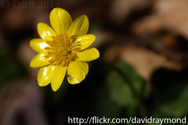 Yellow wildflower macro