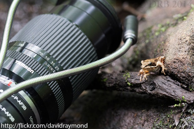 Wood Frog and Tamron Lens.