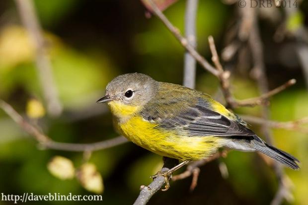 NJ Birding pic
