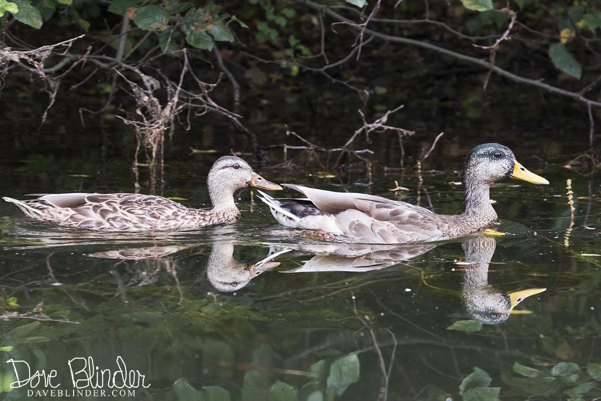 Mallards on Monksville Reservoir