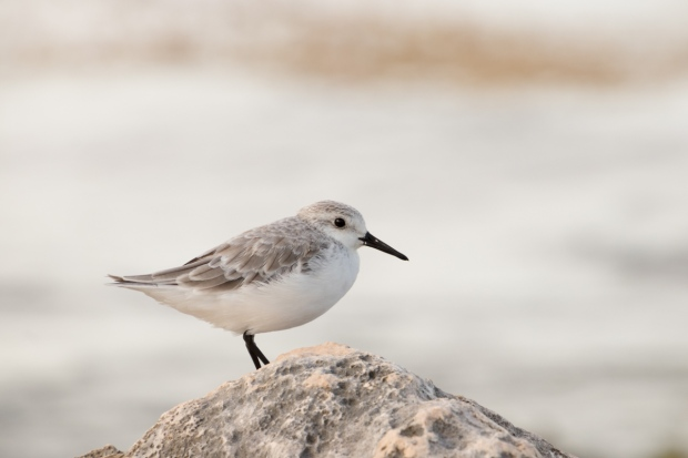 Mexico Sandpiper Picture