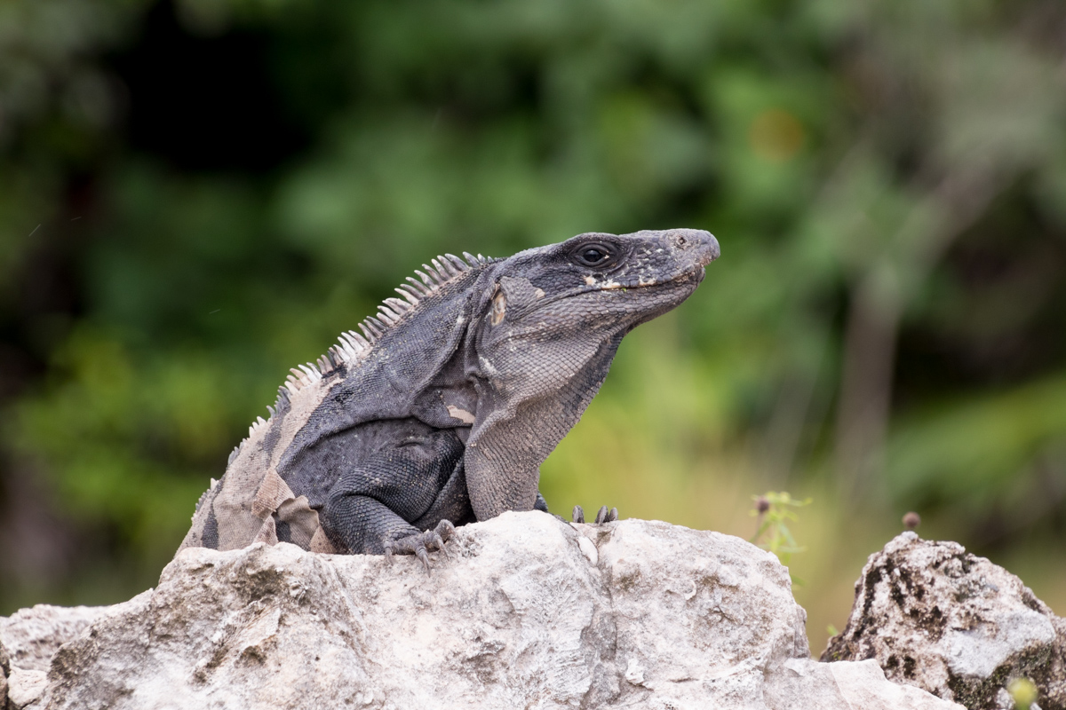 Ctenosaur Iguana picture