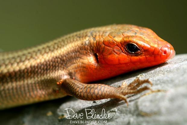 New Jersey Lizard