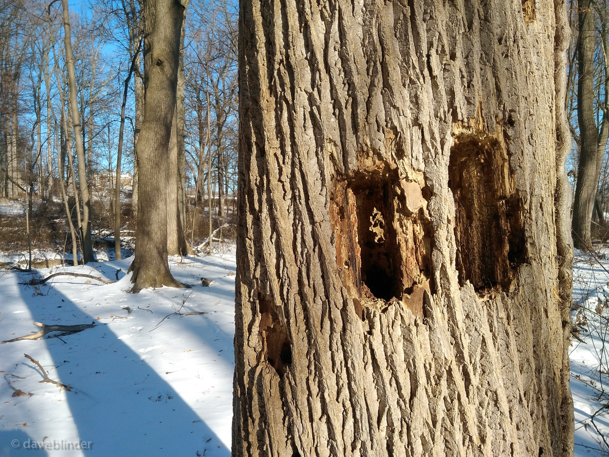 Pileated Woodpecker damage hole picture