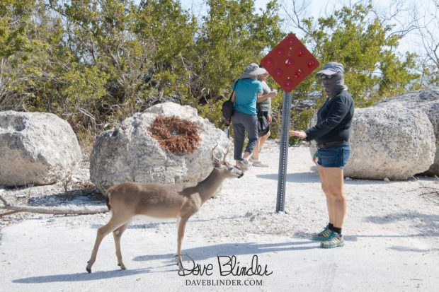 Florida Key Deer photography