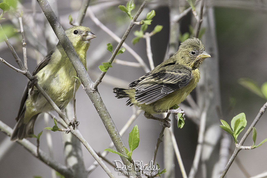 Arizona yellow bird id picture