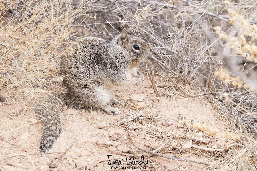 arizona ground squirrel picture