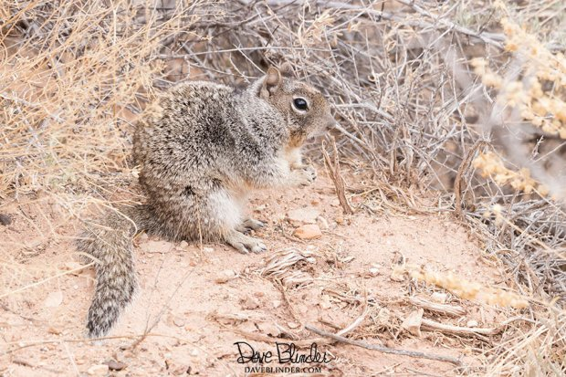 arizona ground squirrel picture