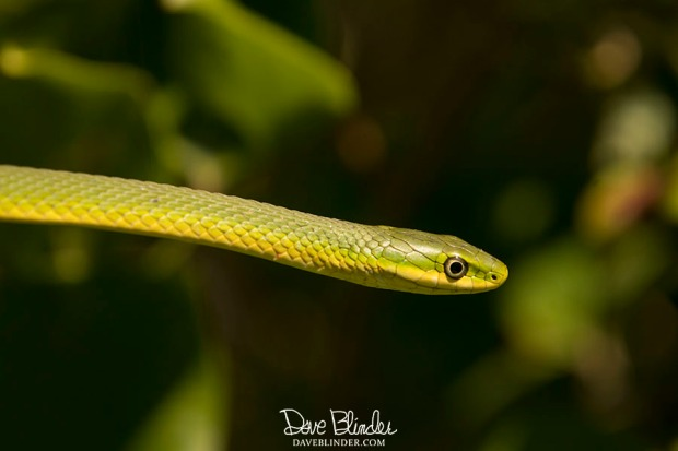 new jersey green snake picture