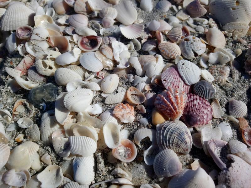 Seashells at Sanibel Island