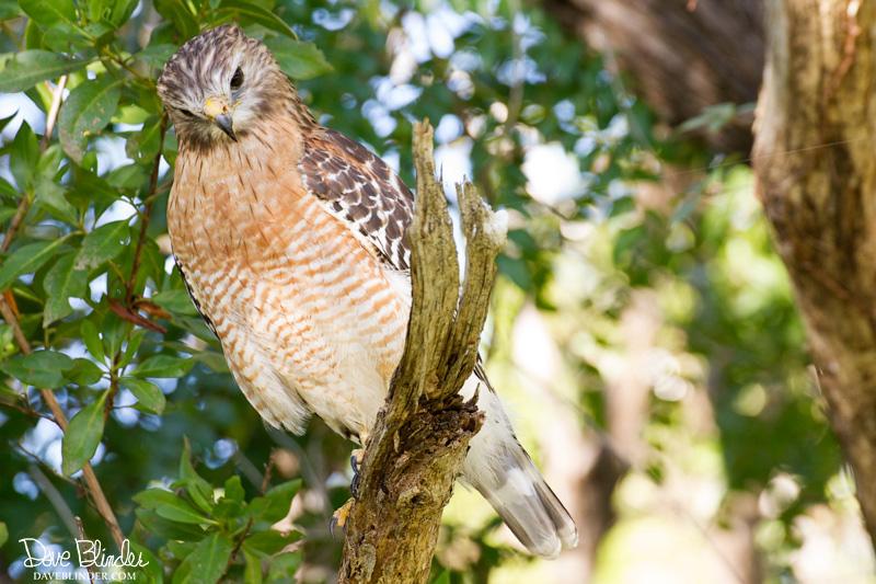 Red-shouldered Hawk in Florida