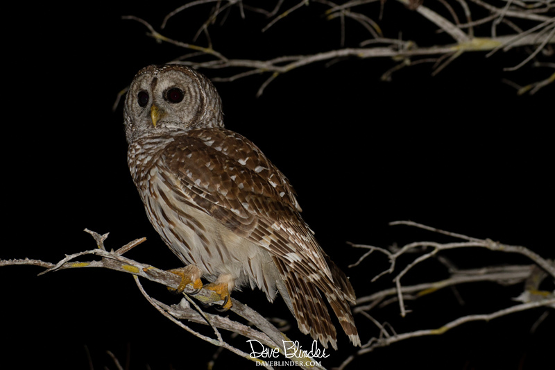 Barred Owl at Everglades National Park