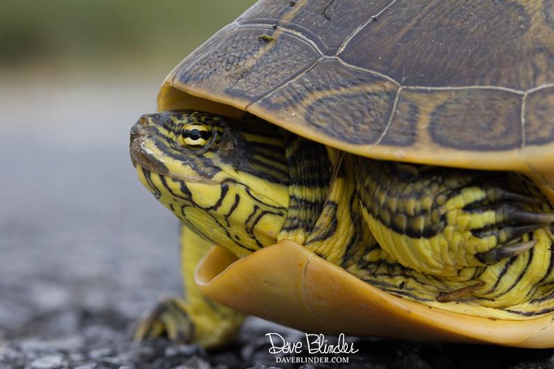 Chicken Turtle florida picture