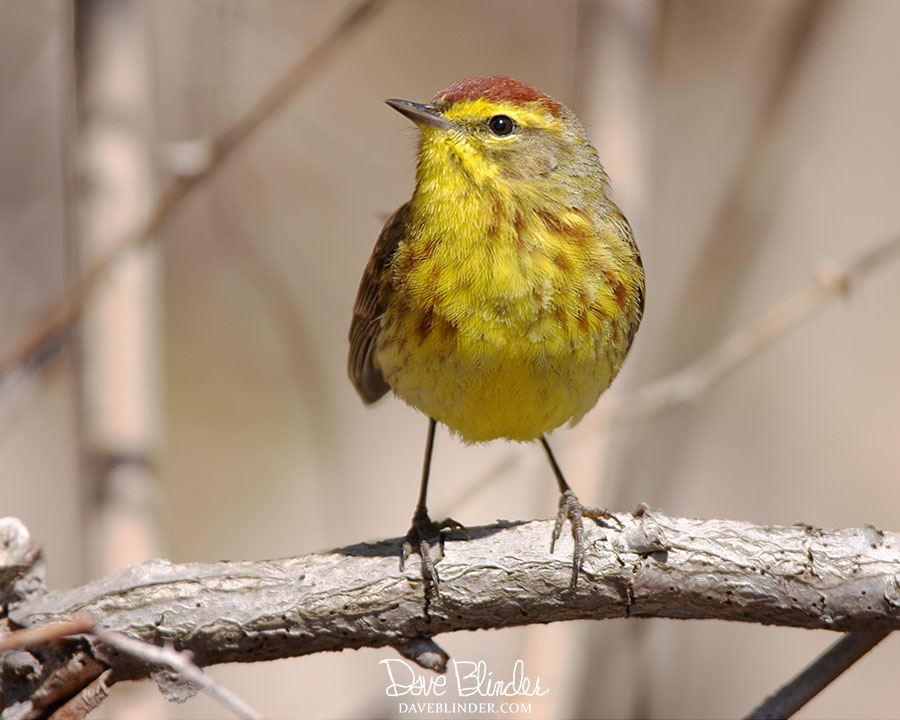 New Jersey warbler picture