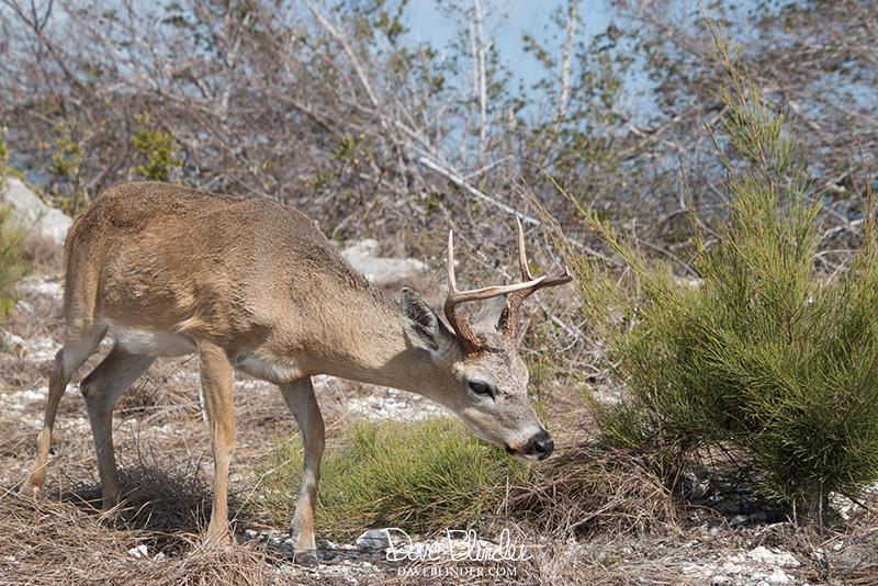 Florida Key Deer picture