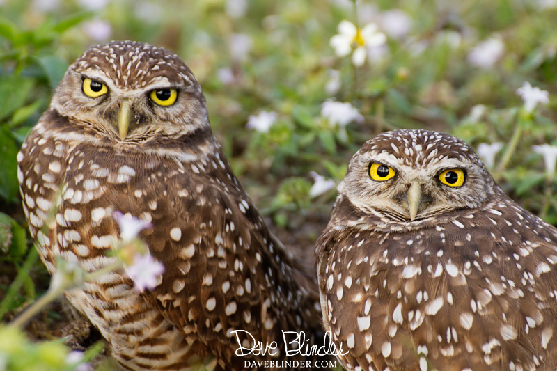 Burrowing Owls Florida