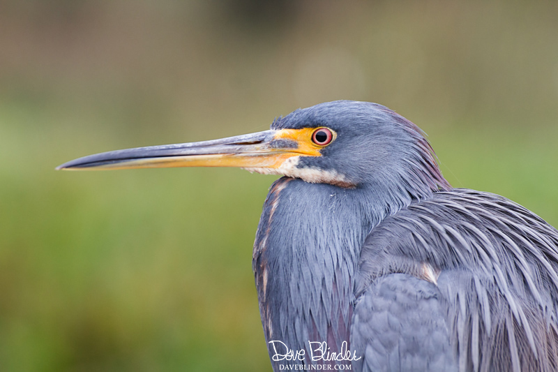 Tricolored Heron Everglades National Park