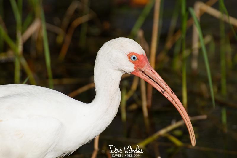 White Ibis in Florida