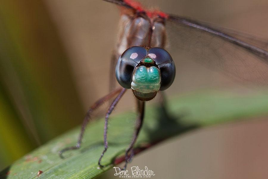 IMG_4504 copy blue faced meadowhawk FBOOK.jpg